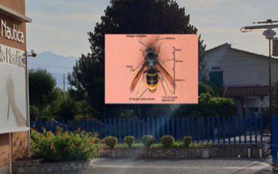 Il calabrone asiatico è ad Ameglia – Un pericolo da fronteggiare insieme